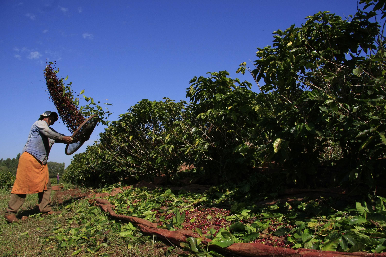 Café está em queda na região de Maringá