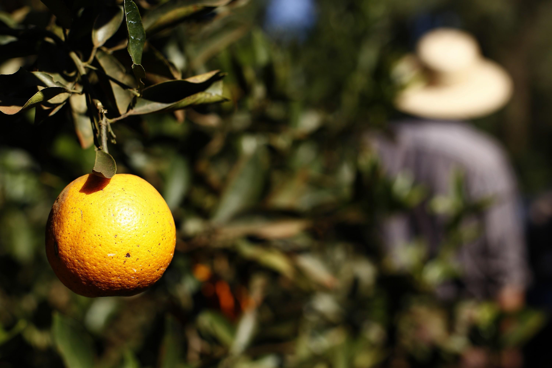 Greening avança de forma severa nos pomares de laranja
