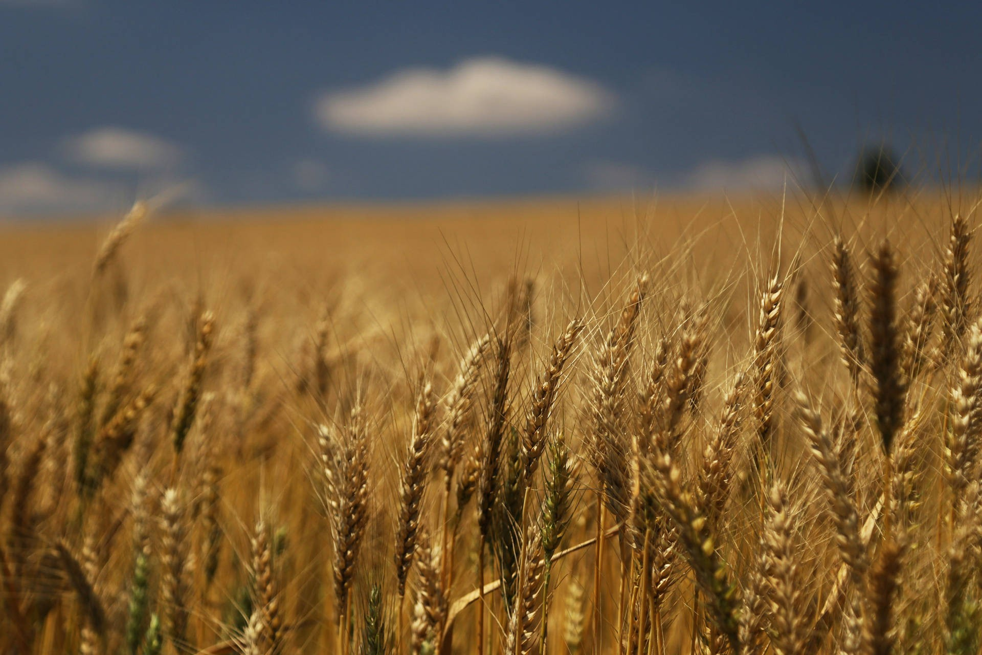 Saca do trigo custa R$ 49 em Maringá
