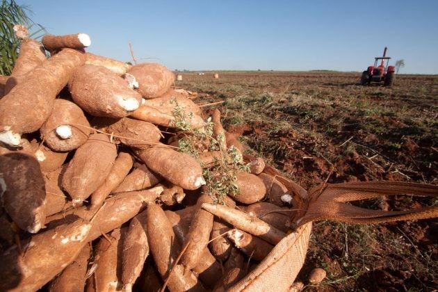 Tonelada da raiz de mandioca custa R$ 330 em Umuarama