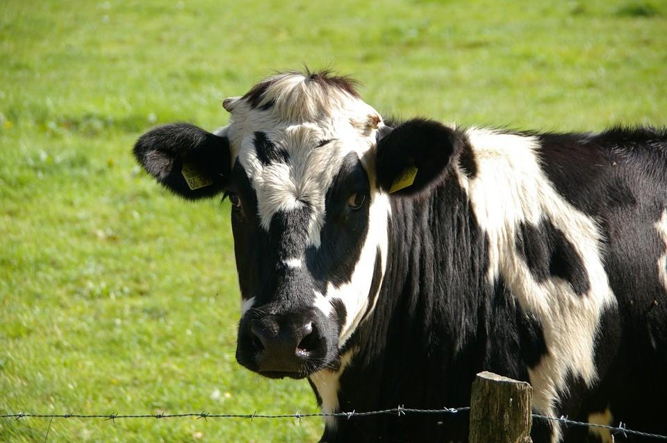 Vaca gorda custa R$ 132 a arroba