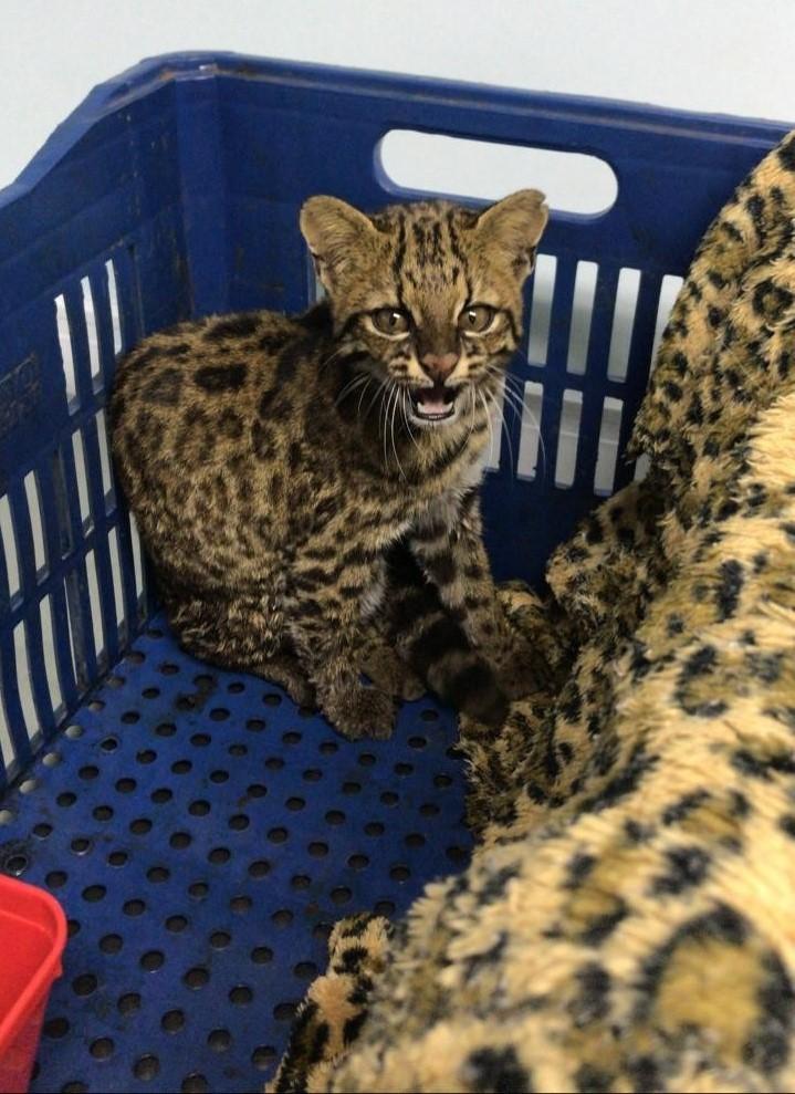 Gato-mourisco recebido na clínica no dia 11 de maio.