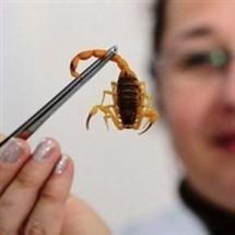 Escorpião amarelo pica criança de quase dois anos em Maringá