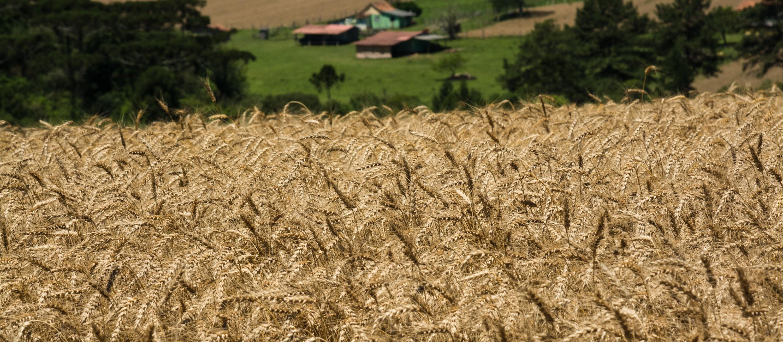 Trigo custa R$ 46,50 a saca em várias praças do Paraná
