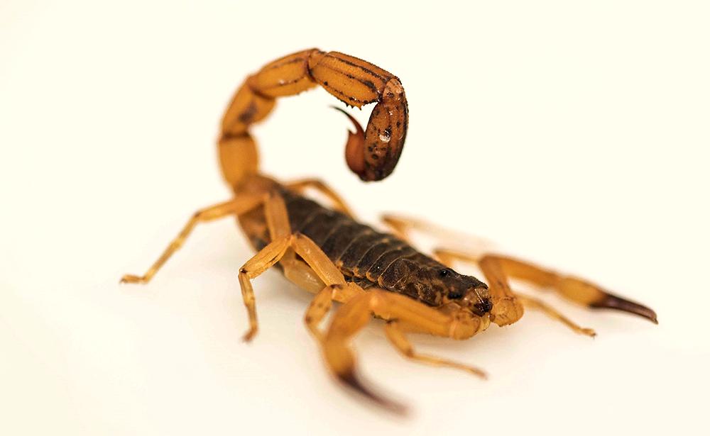 Escorpiões fazem quase 170 vítimas em Maringá neste ano
