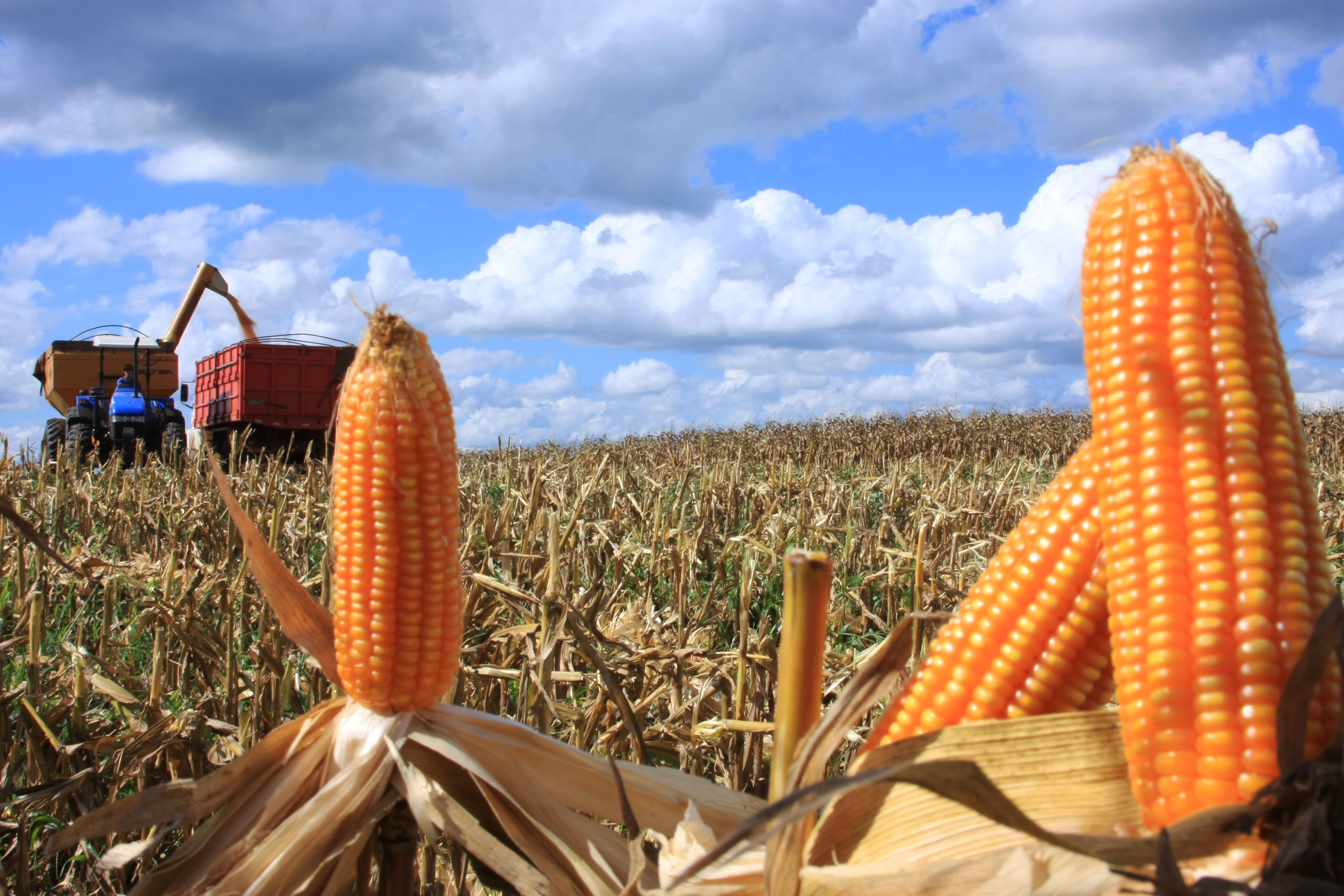 Colheita do milho safrinha começa na próxima semana