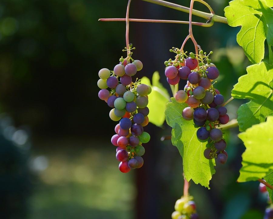 Consumo de uva cai em média 30% durante temporada de frio