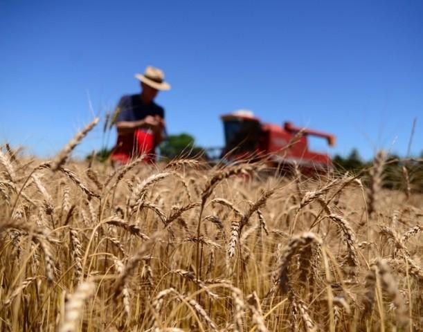 Queda do dólar atrasa comercialização do trigo