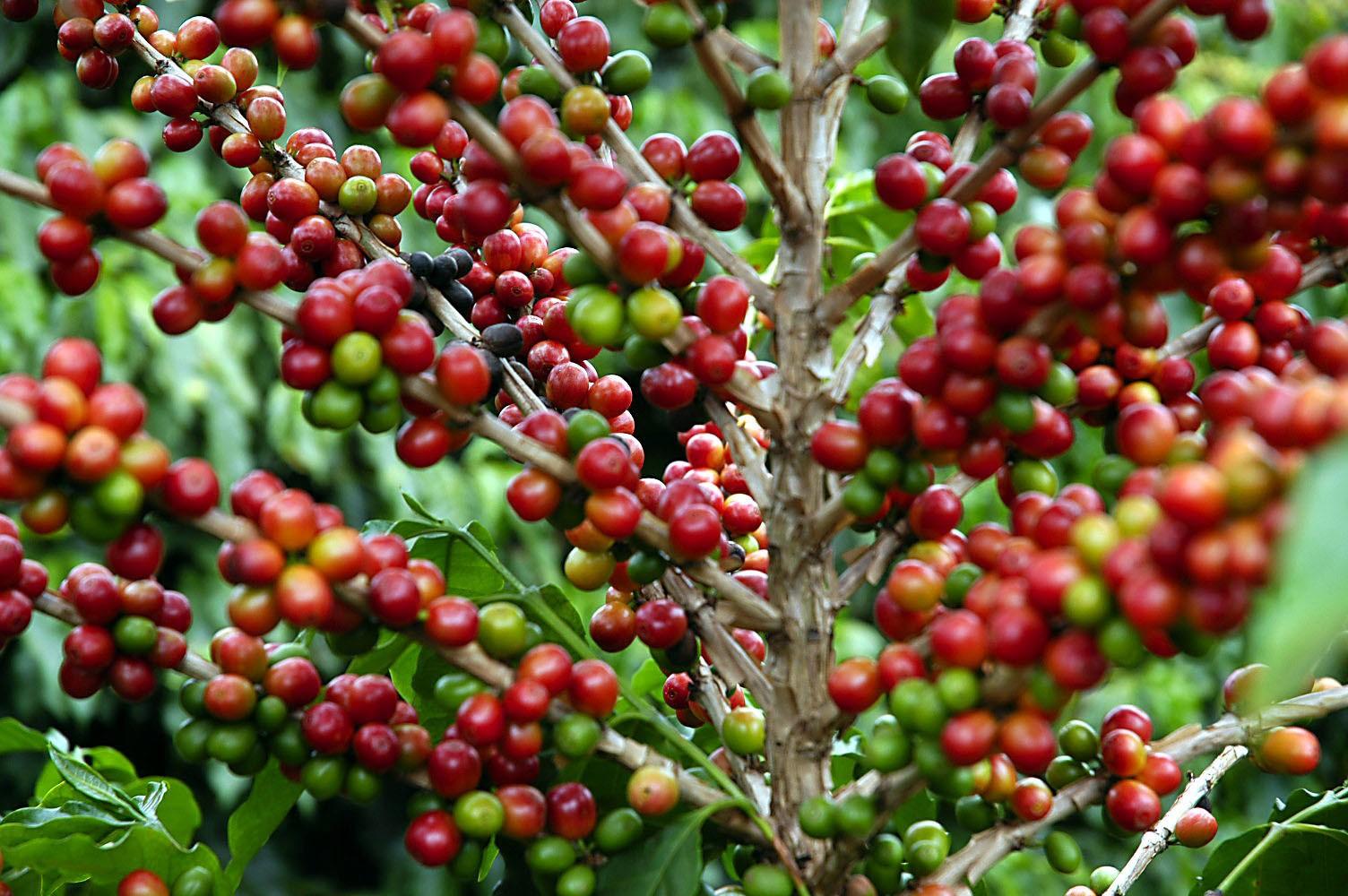Café em coco custa R$ 6,88 kg em Maringá