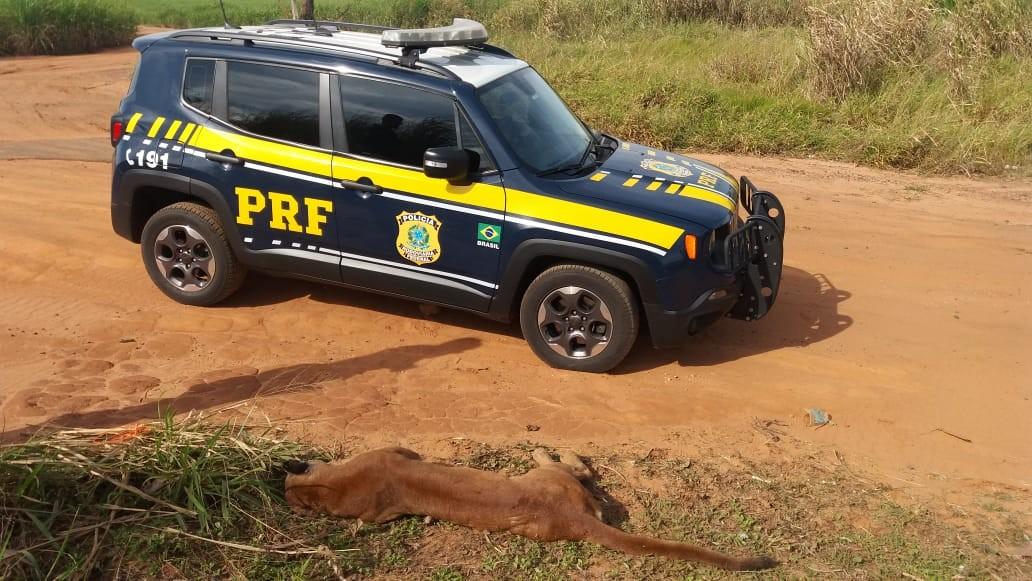 PRF encontra onça parda atropelada na BR-376