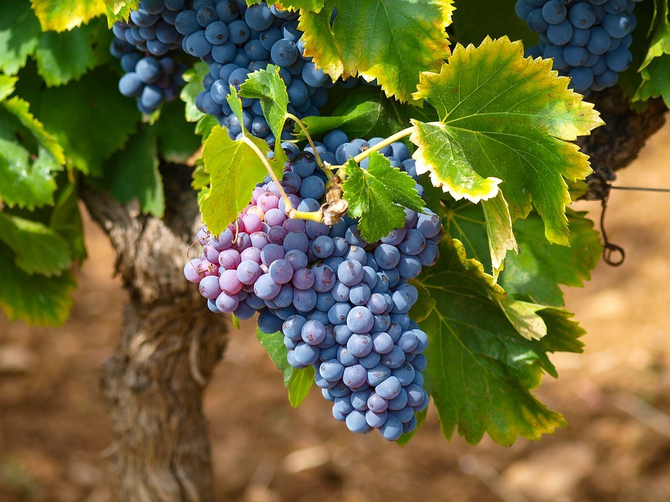 Conab divulga preço mínimo da uva industrial
