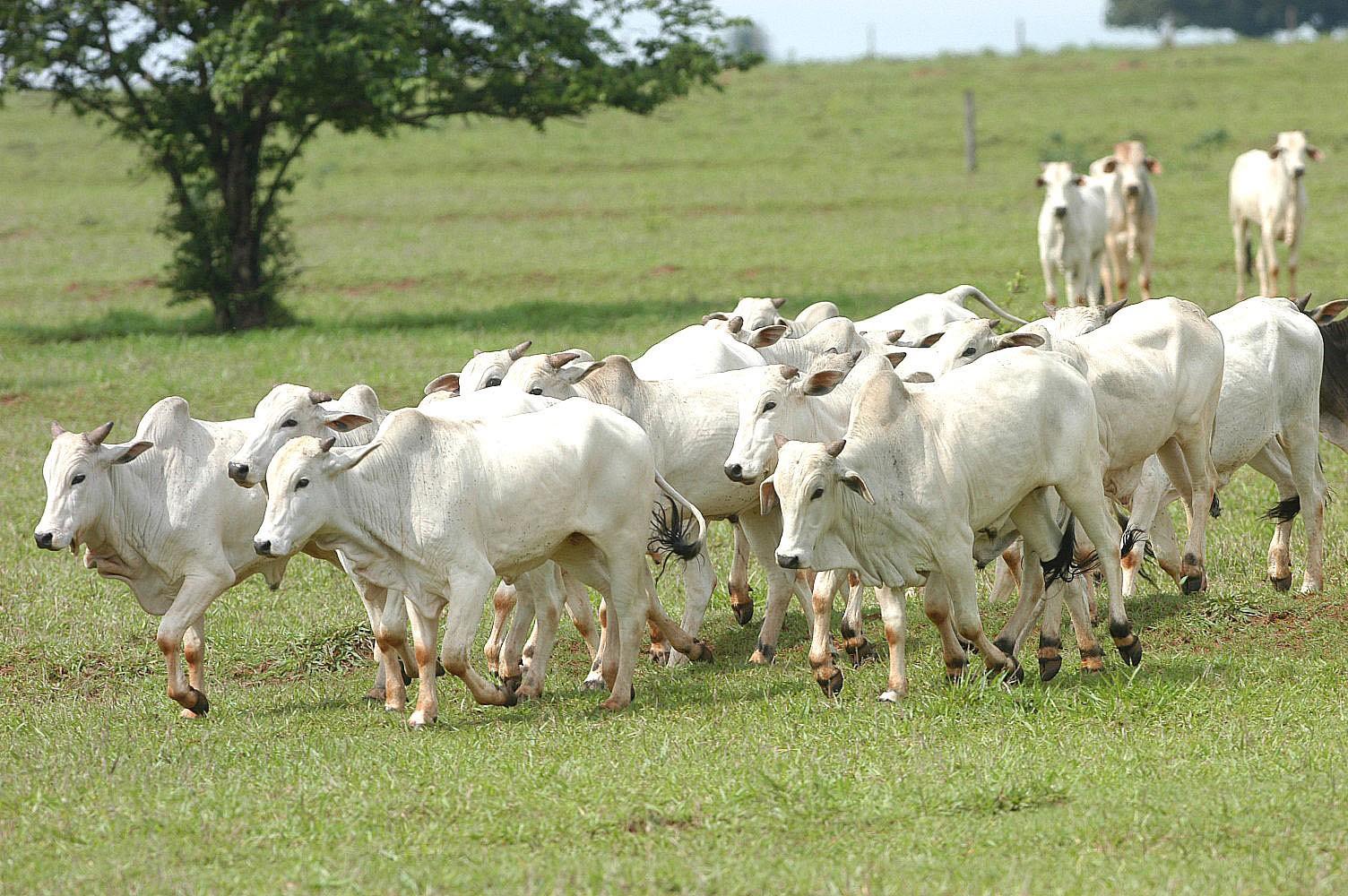 Arroba do boi gordo custa R$ 148 na região de Maringá