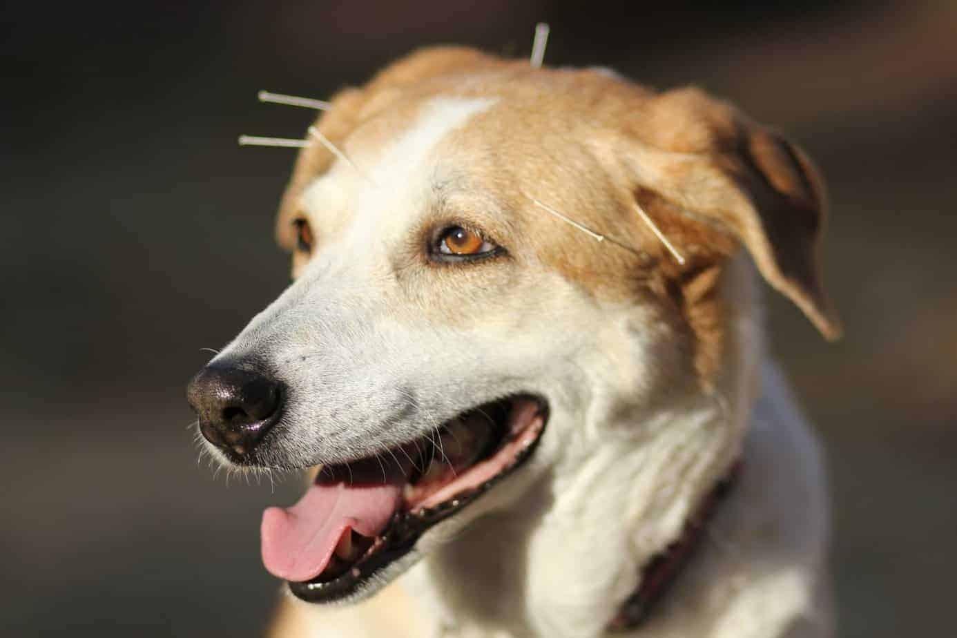 Terapias alternativas e a medicina veterinária integrativa