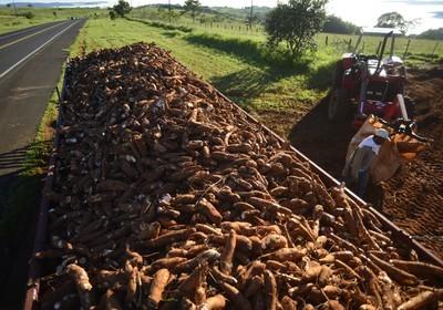 Tonelada da raiz de mandioca custa R$ 390 em Paranavaí