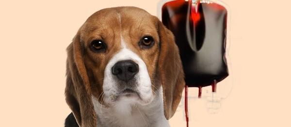 Você sabia que cães e gatos podem fazer transfusão sanguínea?