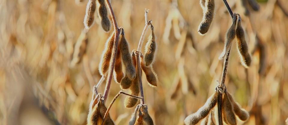 Perspectiva é de preços de soja firmes até o fim do ano, diz Scot Consultoria