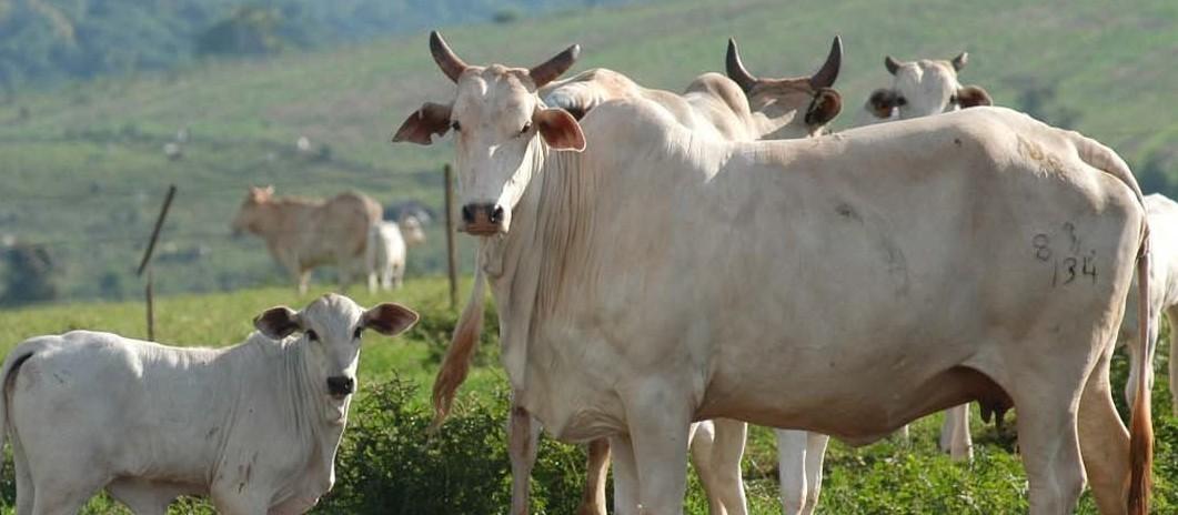 Vaca gorda custa R$ 160 a arroba em Maringá