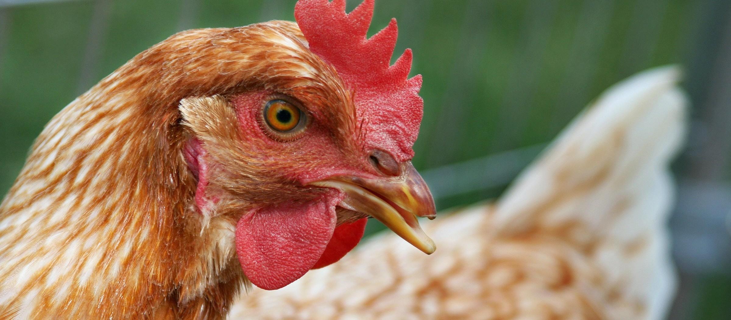 Homem é preso em flagrante após furtar galinhas