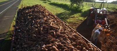 Tonelada da raiz de mandioca custa R$ 430 em Campo Mourão e Umuarama