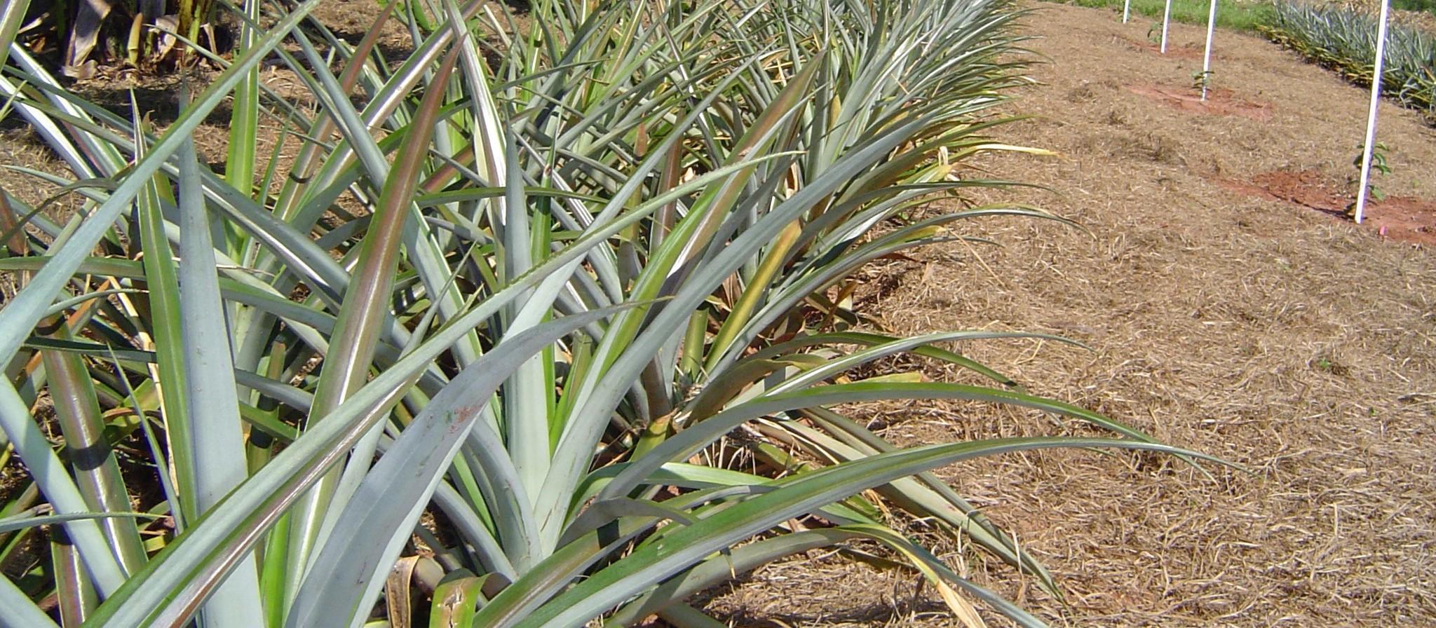 O que se produz no campo nesta época do ano na região de Maringá?