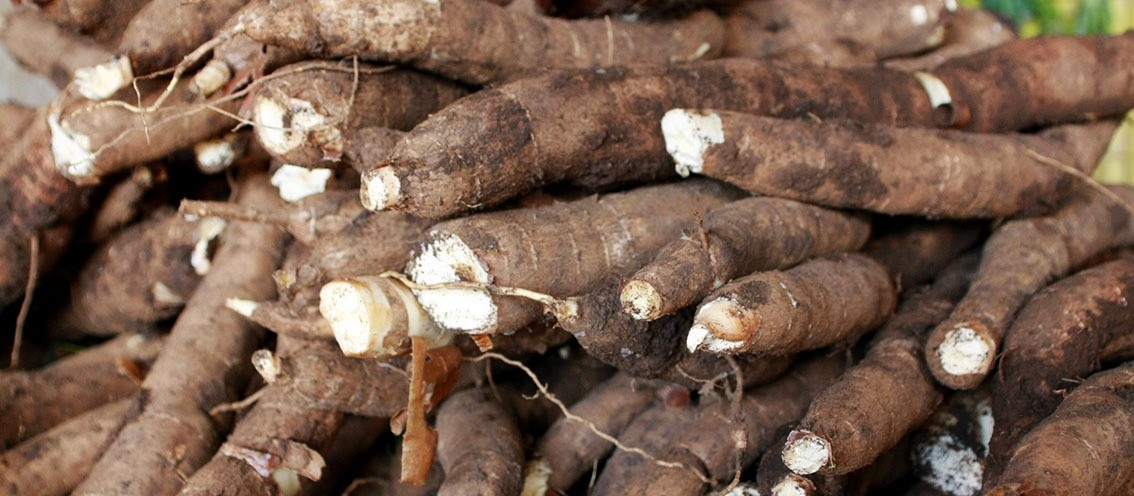 Tonelada da raiz de mandioca custa R$ 411 na região de Umuarama