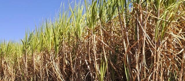 Cana-de-açúcar é primordial na geração de riquezas