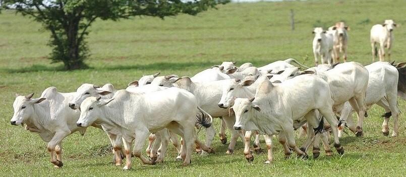 Boi gordo custa R$ 190 a arroba na região de Londrina