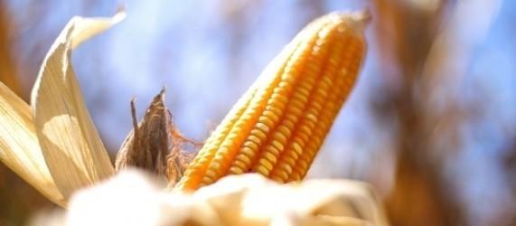 Saca do milho custa R$ 27,50 em Campo Mourão