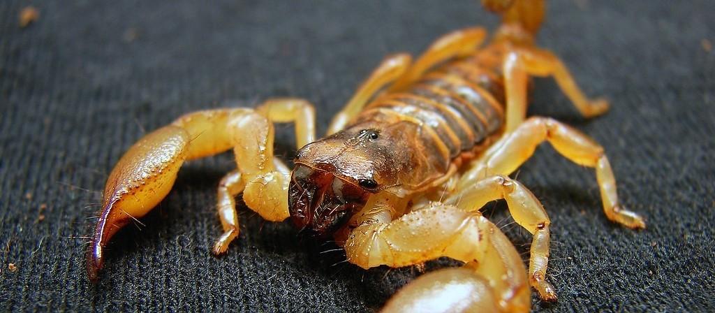 Criança picada por escorpião está na UTI