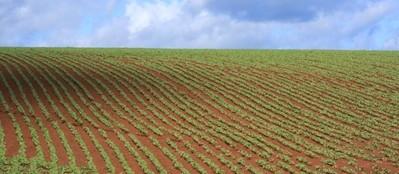 Clima benéfico para a soja em Cascavel e Toledo