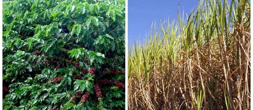 Severa estiagem acende alerta para safras de café e cana de 2019