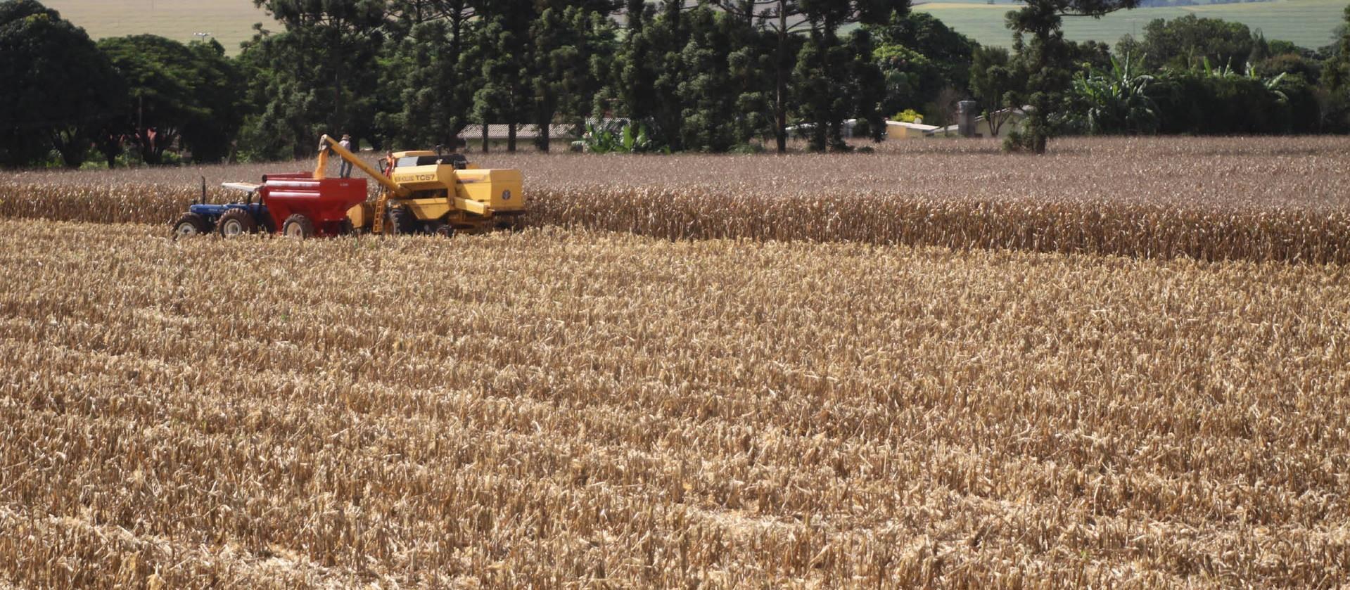 Área colhida do milho chega a 12%