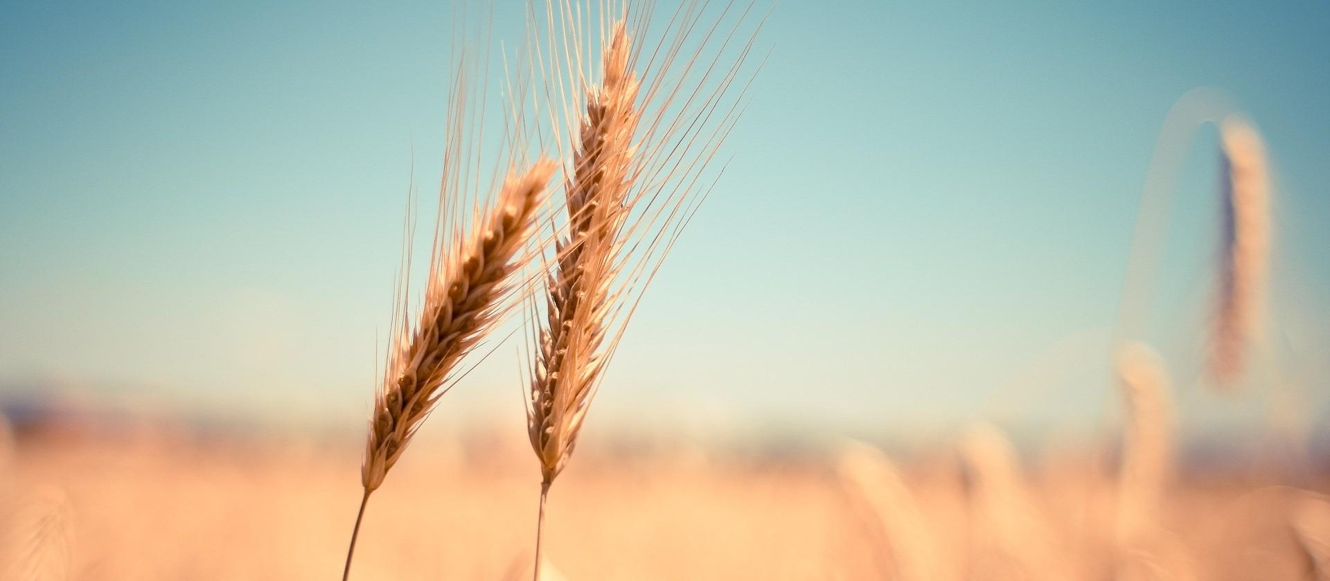 Deral estima produção de trigo do Paraná em 3,6 milhões de toneladas