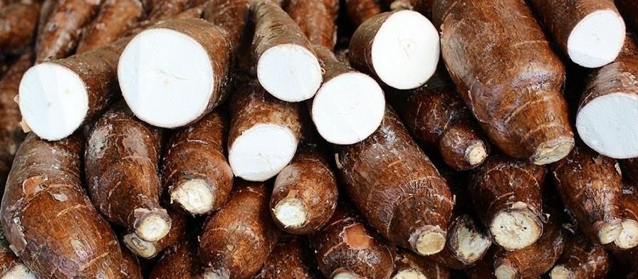 Raiz de mandioca custa R$ 490,00 a tonelada em Campo Mourão