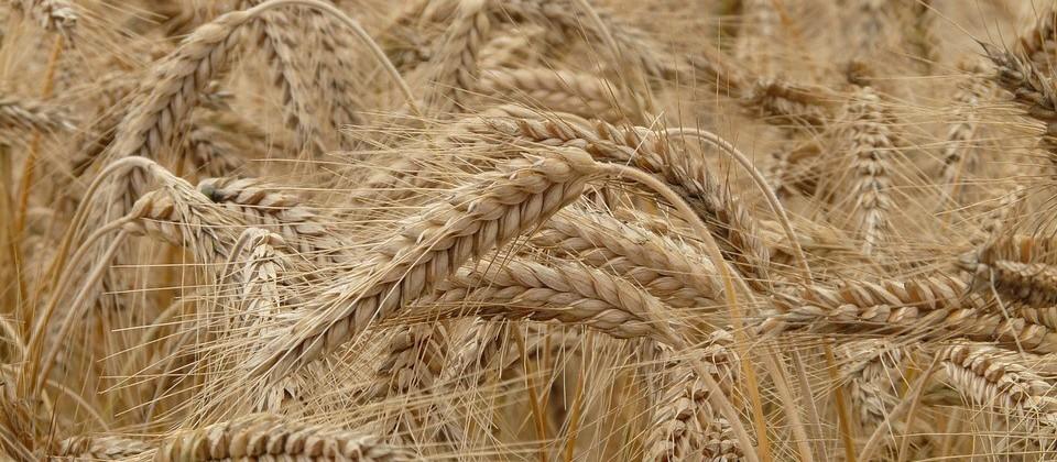 Cotações do trigo apresentam nova alta