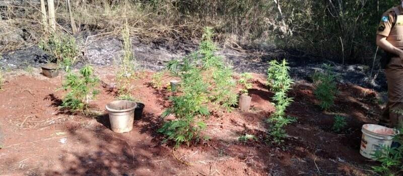 Após apagar incêndio, bombeiros encontram plantação de maconha em Maringá