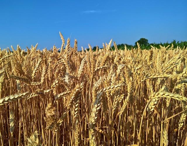 Produção nacional de trigo em 2017 foi 38% menor do em 2016