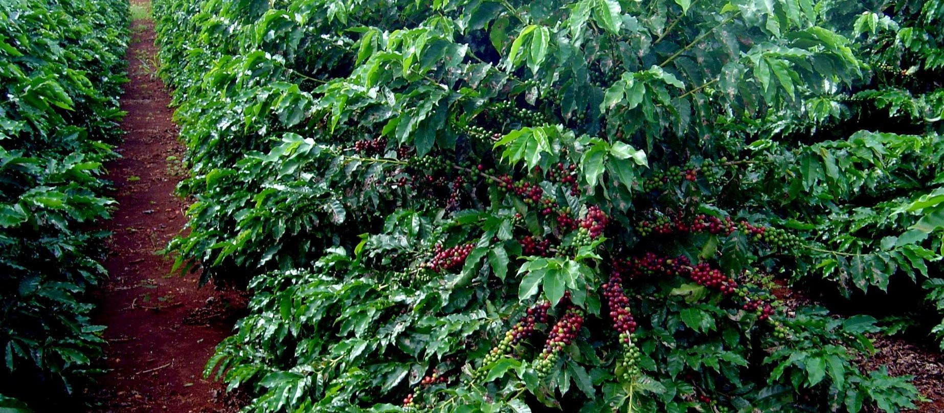 Preço da saca de café está 6,40 kg na região de Maringá