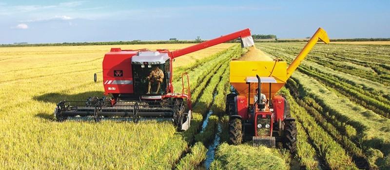Colheita do arroz está com produtividade abaixo do esperado