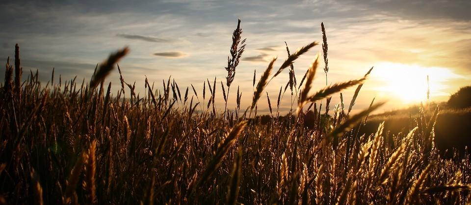 Com desvalorização, trigo segue em queda
