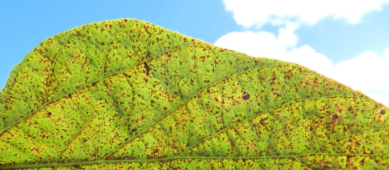 Paraná é o estado com maior concentração de ferrugem da soja no país