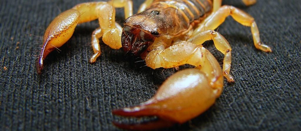 Mulher é picada por escorpião amarelo