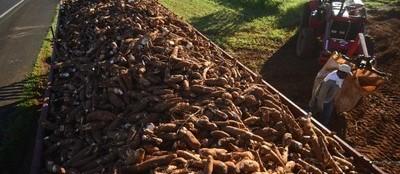 Tonelada da raiz de mandioca custa R$ 350 em Paranavaí