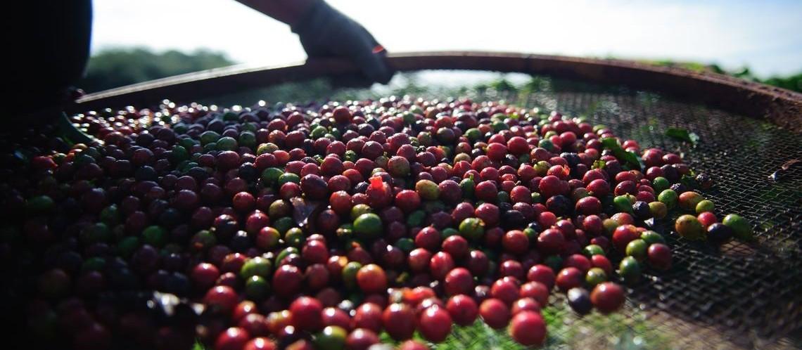 40% da safra atual de café já foi comercializada