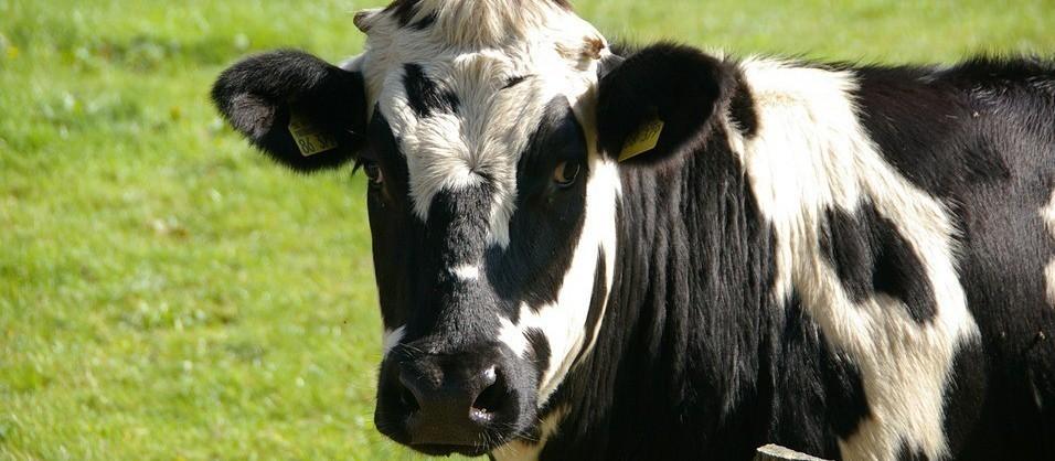 Vaca gorda custa R$ 136 a arroba em Londrina