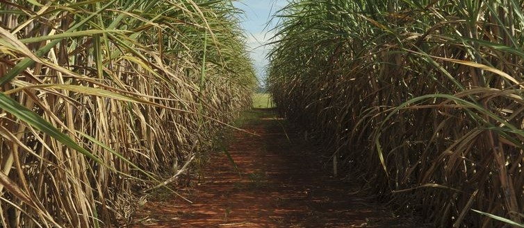 Tonelada da cana-de-açúcar custa R$ 67,74 no campo