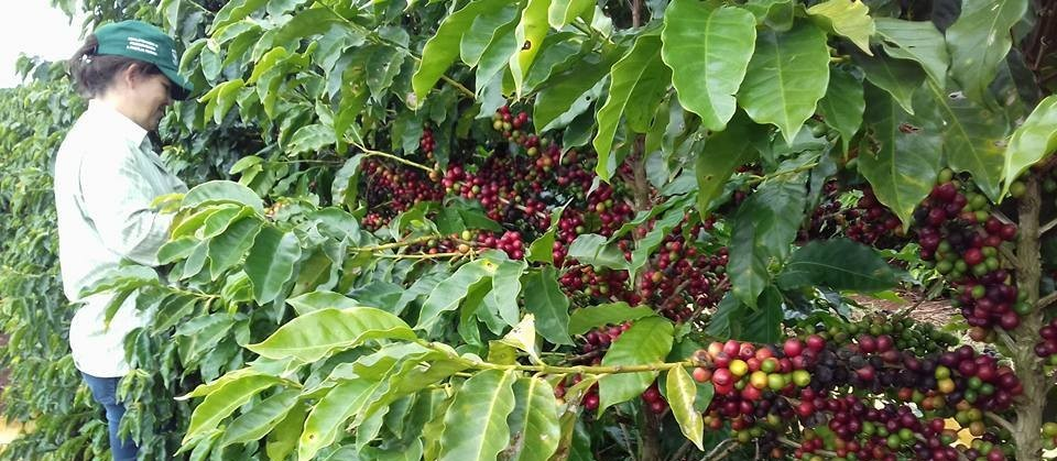 Começa a colheita do café no Paraná