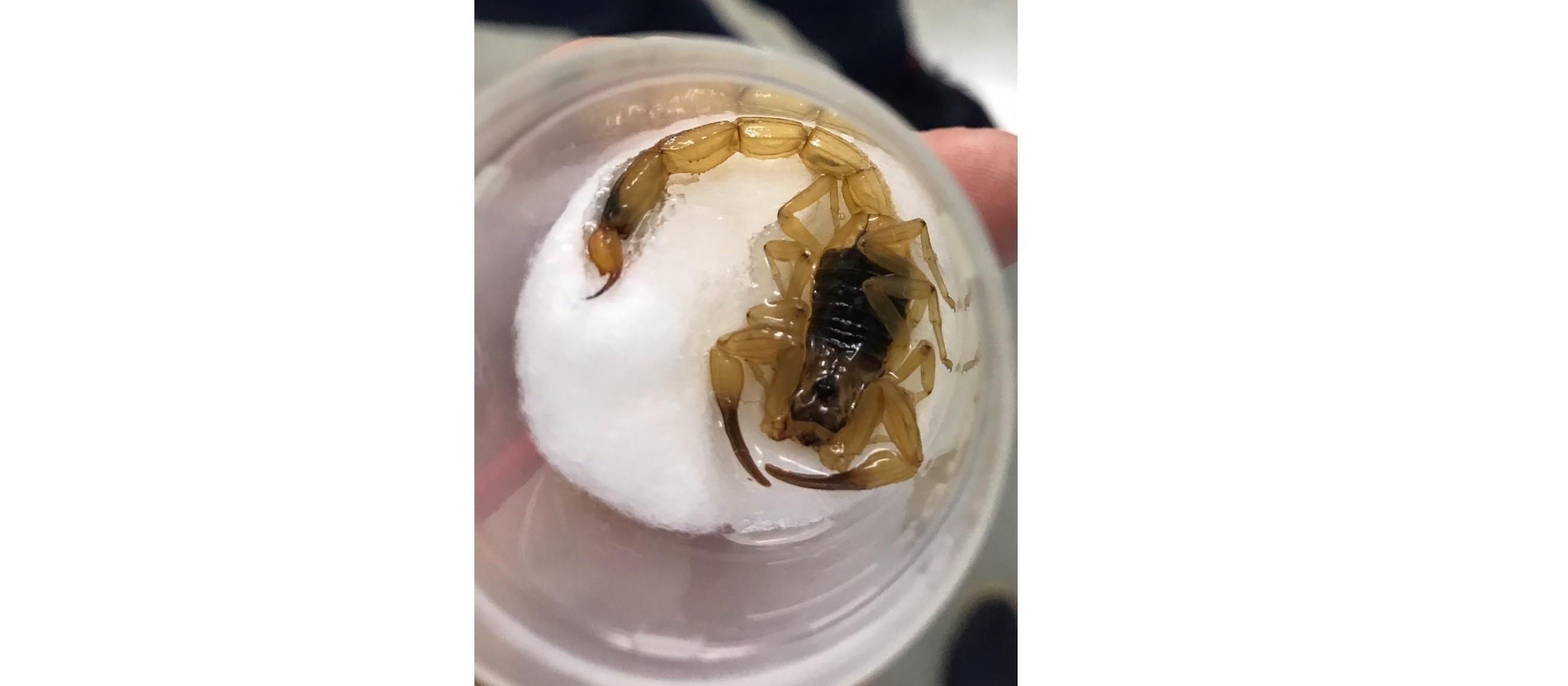 Saúde acredita que escorpiões estão fugindo de habitat