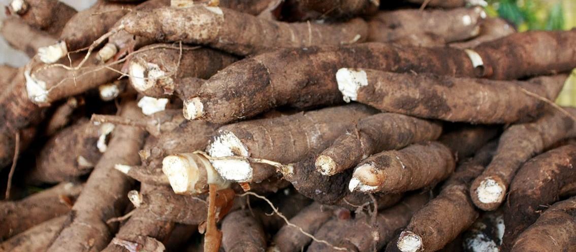 Tonelada da raiz de mandioca custa R$ 335 nas principais praças do mercado