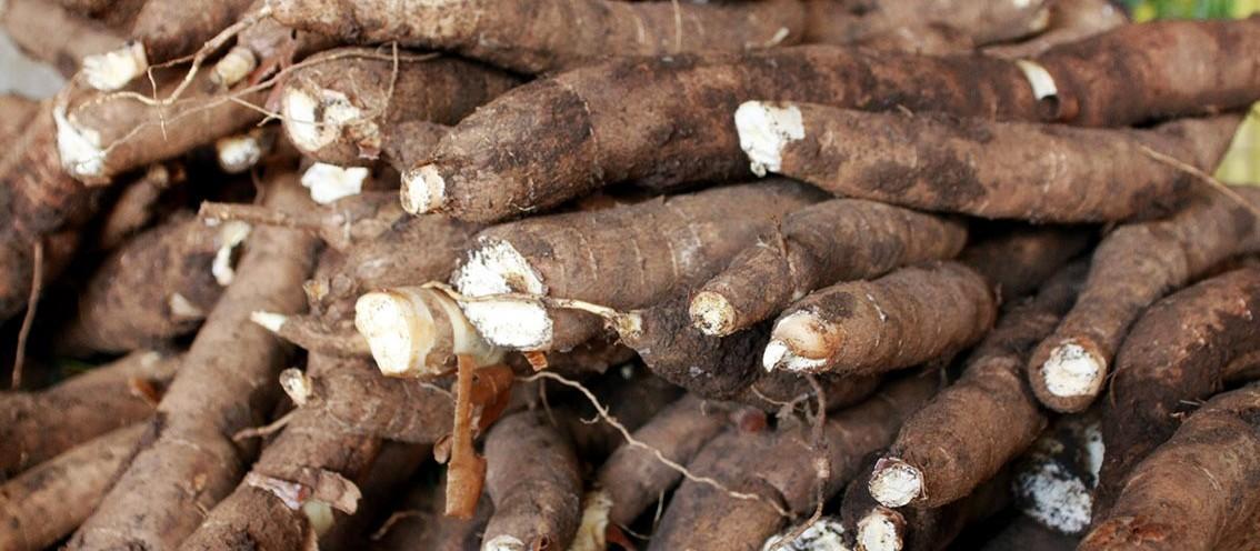 Tonelada da raiz de mandioca custa R$ 430 em Umuarama